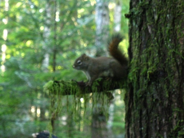A red squirrel watches its forest neighbourhood, chattering up a storm about newcomers in its Quadra realm
