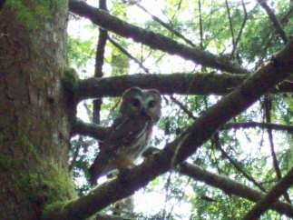 A northern saw-whet owl photographed perched alongside the Stramberg Lake/Old Growth Grove Trail.
