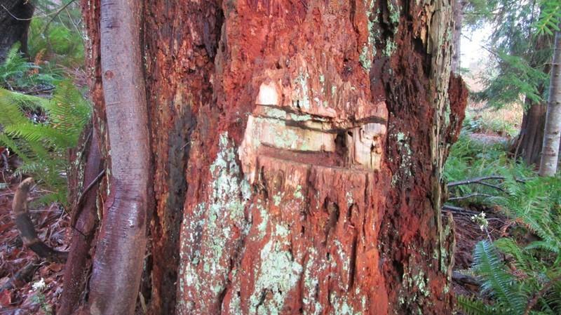Notched stump along the walk